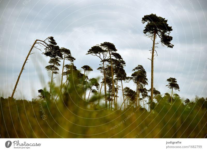 Weststrand Umwelt Natur Landschaft Pflanze Himmel Wolken Klima Wetter Wind Baum Wald Küste Ostsee Fischland-Darß-Zingst kalt natürlich wild Windflüchter