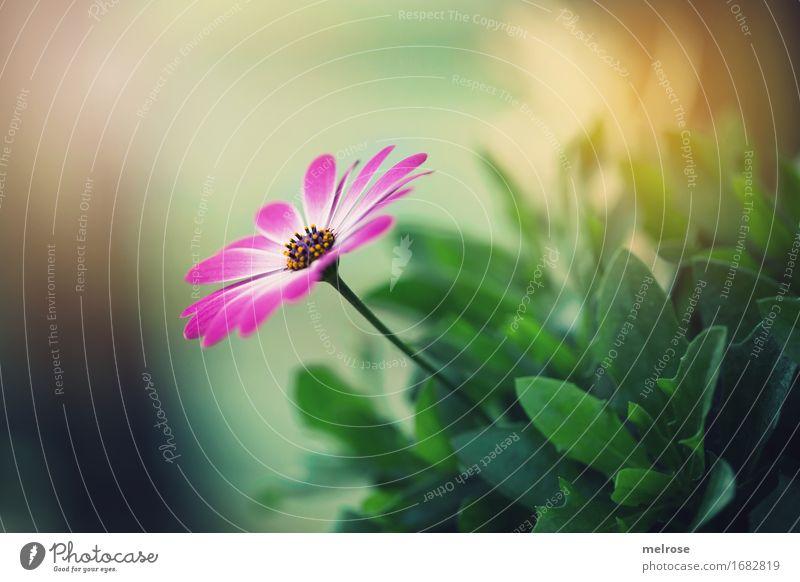 schön gebettet elegant Stil Natur Sommer Schönes Wetter Pflanze Blume Wildpflanze Blütenblatt Blütenstempel Blütenstiel Blätter Park Mitte quer Lichtspiel Farbe