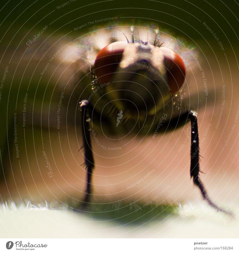 Fliege II Farbfoto Außenaufnahme Makroaufnahme Tag Schwache Tiefenschärfe Zentralperspektive Blick in die Kamera Natur Tier Tiergesicht 1 sitzen Ekel rot