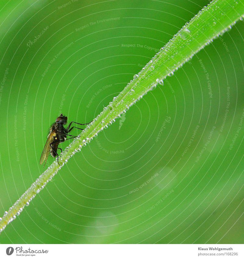 Fliege Natur grün Pflanze Tier Frühling warten klein Fliege Umwelt Wassertropfen Seil sitzen Schilfrohr Seeufer Teich