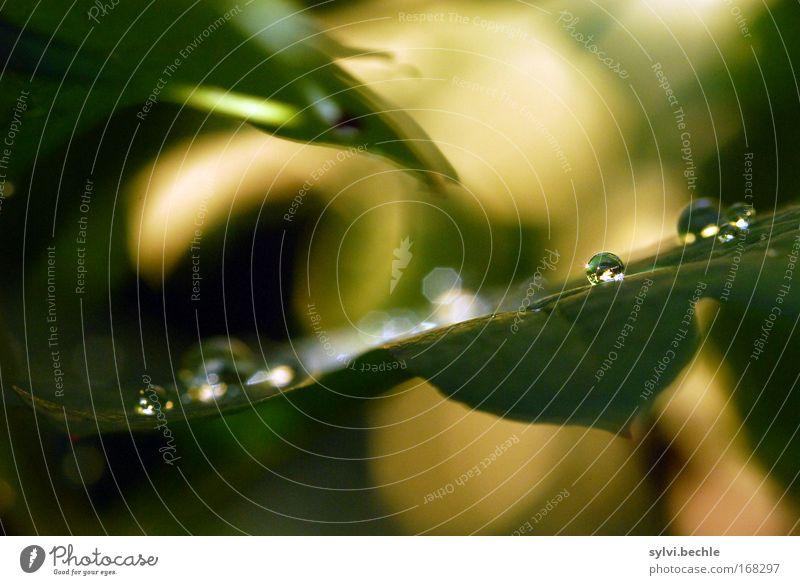 i have a dream Natur Pflanze Wasser Wassertropfen Klima Wetter Regen Blatt Flüssigkeit frisch glänzend kalt nass schön grün ruhig Reinheit geheimnisvoll rein