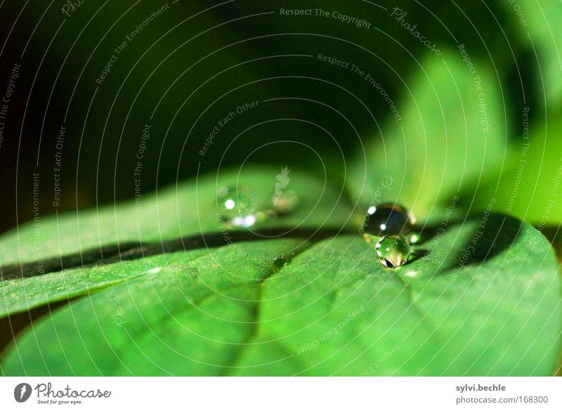 wie eine kleine perle Natur schön grün Pflanze ruhig Blatt schwarz kalt Regen glänzend Wetter nass Wassertropfen frisch rund