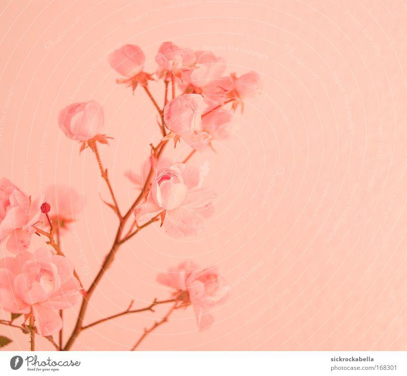 sanftes rosa Farbfoto Gedeckte Farben Menschenleer Textfreiraum rechts Hintergrund neutral Kunstlicht Pflanze Rose Blüte Vertrauen Romantik trösten Blume ruhig