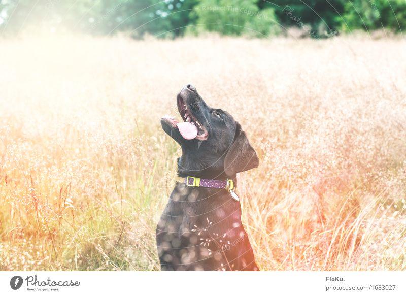 Aw, yiss! Summertime! Hund Natur Pflanze Sommer Sonne Tier Freude Tierjunges Wärme Gefühle Wiese Gras Glück Stimmung braun Zufriedenheit