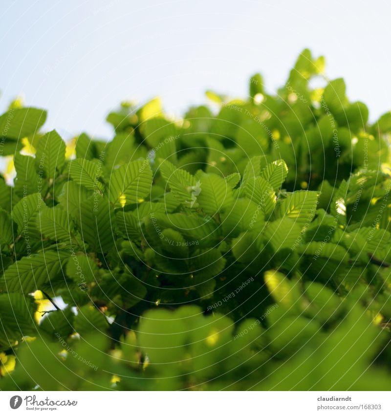 blattGRÜN Natur Himmel Baum grün Pflanze Sommer Blatt Frühling frisch Wachstum Sträucher dünn leuchten Schönes Wetter Hecke Grünpflanze