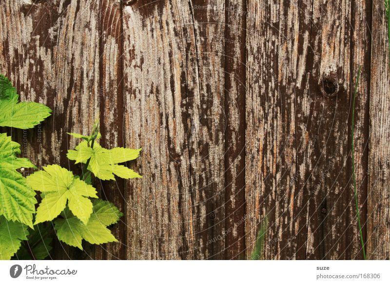 Griechischer Wein Natur alt grün Pflanze Blatt Umwelt Wand Mauer Holz braun Zufriedenheit authentisch Wachstum einfach Wein nachhaltig
