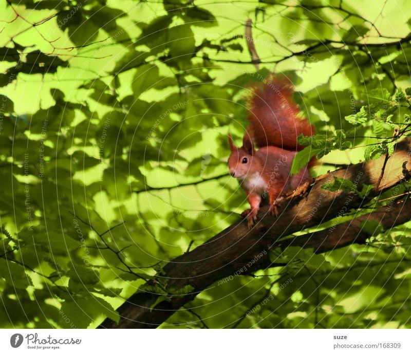 Auf´m Sprung Umwelt Natur Pflanze Tier Baum Wildtier Eichhörnchen 1 beobachten warten klein niedlich grün rot Tierliebe Neugier Ast Nagetiere Tierporträt Geäst
