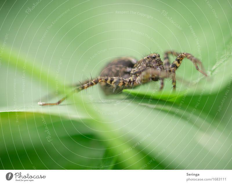 Die spinnt.... Pflanze Tier Gras Blatt Blüte Garten Park Wiese Wald Wildtier Spinne Tiergesicht 1 Jagd Insekt Springspinne Farbfoto mehrfarbig Außenaufnahme
