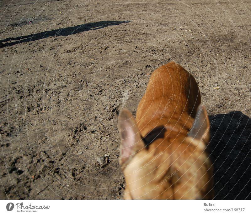 Napoleons Sturmdrang und Rückgrad Hund schön Sonne Sommer Strand Tier schwarz grau Sand Küste braun elegant wandern Rücken bedrohlich Fell