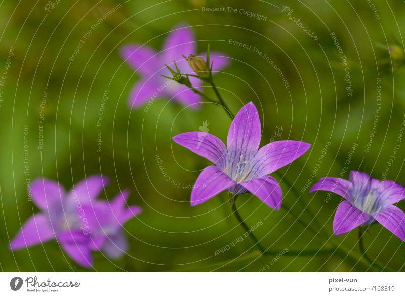 Wiesenglöckchen Blume grün Pflanze Sommer Wiese Blüte Frühling Feld rosa violett Dekoration & Verzierung Lebensfreude Idylle Frühlingsgefühle Wildpflanze