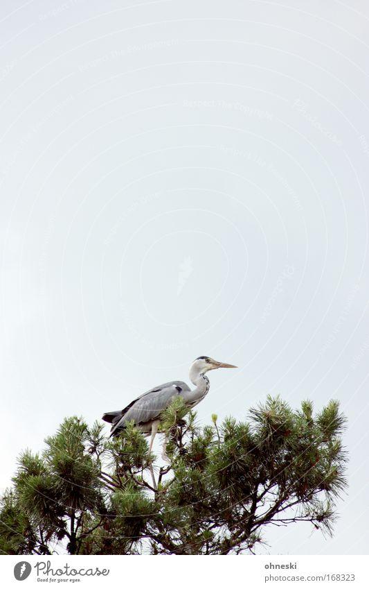 Fischreiher III Natur Baum Tier Erholung Vogel warten fliegen Nadelbaum Reiher Graureiher
