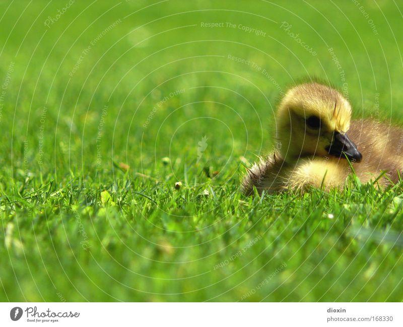 Nachwuchs Vol.1 Natur grün Sommer Erholung ruhig Tier Umwelt gelb Tierjunges Wiese Gras Frühling klein braun Vogel liegen