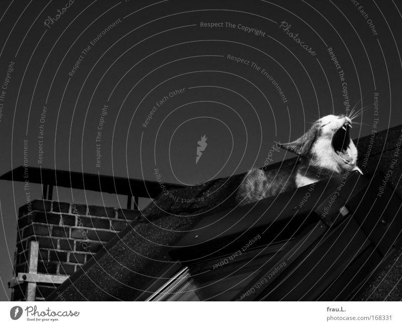 Dachkater Schwarzweißfoto Außenaufnahme Textfreiraum oben Tag Kontrast Haus Fenster Tier Haustier Katze 1 genießen liegen Spielen Glück Zufriedenheit Trägheit