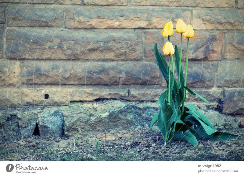 Farbtupfer im Grauen Natur grün schön Pflanze Blume Einsamkeit gelb Wand Umwelt grau Stein Frühling Erde Tulpe Zerstörung Gegenteil
