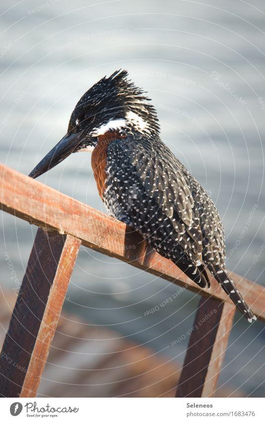 Giant Kingfisher Natur Ferien & Urlaub & Reisen Tier Umwelt Küste See Vogel Wildtier Ausflug nah Eisvögel