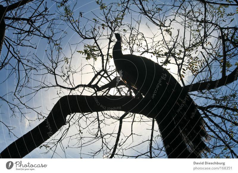 Im Glanz der Sonne Natur blau schön Sommer Baum Pflanze Tier schwarz Vogel Wildtier Ast Zweig Geäst Pfau laublos