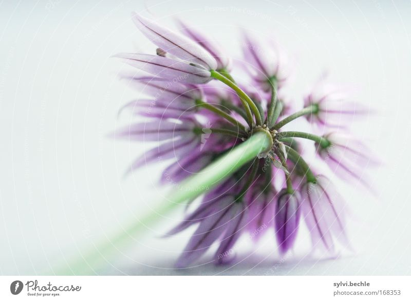 ein belegtes brot mit ... schnittlauch Natur schön grün Pflanze Ernährung Blüte grau rosa violett zart Kräuter & Gewürze lecker Appetit & Hunger leicht