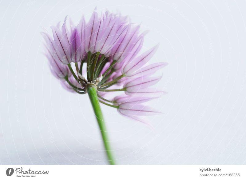 ein belegtes brot mit ... schnittlauch II Lebensmittel Kräuter & Gewürze Schnittlauch Ernährung Bioprodukte Natur Pflanze Blüte Nutzpflanze grau grün violett