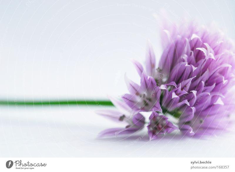 ein belegtes brot mit ... schnittlauch III Natur schön grün Pflanze Ernährung Blüte grau rosa Lebensmittel violett zart Kräuter & Gewürze Appetit & Hunger