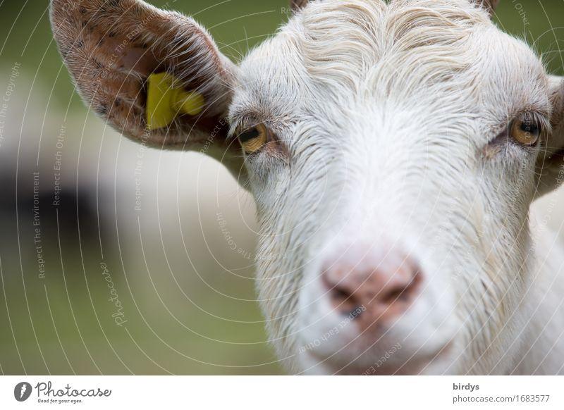 Ziegenportrait Nutztier Tiergesicht 1 beobachten hören Blick ästhetisch außergewöhnlich Freundlichkeit listig positiv Tierliebe klug Neugier Natur Sinnesorgane