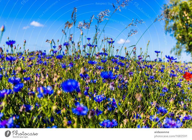Kornblumen Natur Landschaft Pflanze Sommer Schönes Wetter Blume Feld Zufriedenheit Warmherzigkeit Gelassenheit ruhig blau Dorf Mecklenburg-Vorpommern