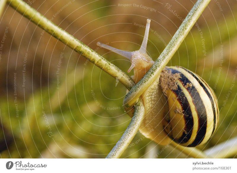 guckst du? Natur Sommer Garten Tier Schnecke 1 festhalten Blick dreckig Neugier niedlich anstrengen Pause Zufriedenheit gestreift Anmut langsam Zaun Klettern