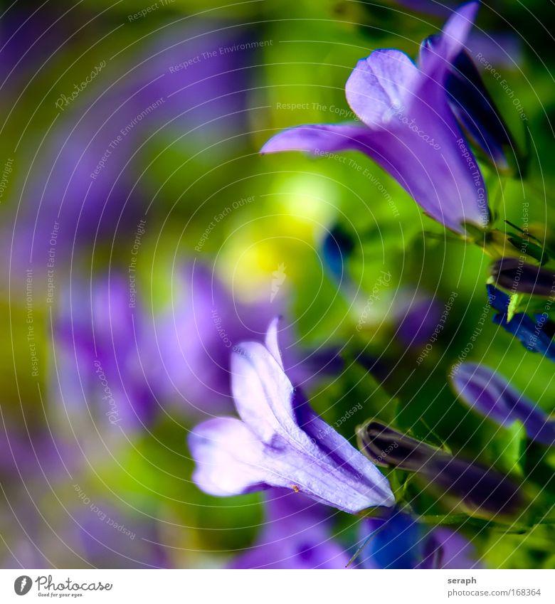 Violett spring pretty botanical pollen bud Kräutergarten Wiese Blüte Blühend blooming Blume Dekoration & Verzierung Detailaufnahme Nektar softly Botanik flora
