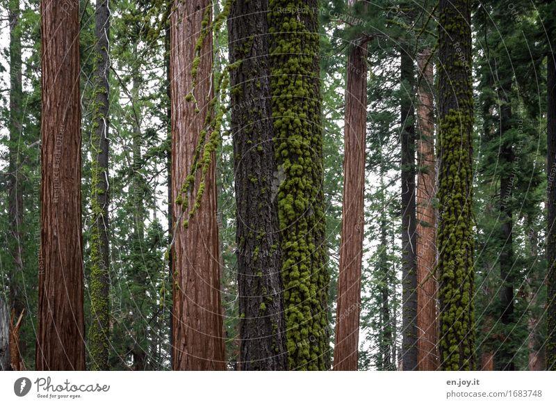Multikulti Alternativmedizin Umwelt Natur Landschaft Pflanze Baum Moos Baumstamm Baumrinde Nadelbaum Tanne Wald Urwald einzigartig braun grün ruhig Trauer