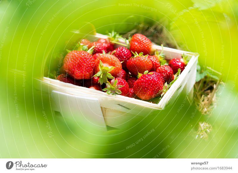 Erntefrisch II Lebensmittel Frucht Erdbeeren Vegetarische Ernährung Gesundheit lecker saftig süß grün rot weiß Korb Sommer Blatt Blätterdach Plantage Feld