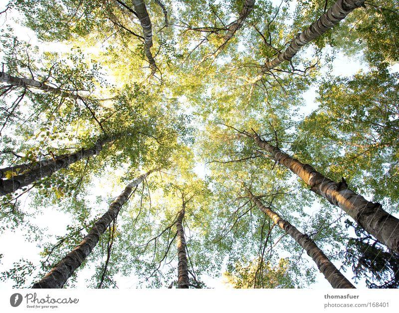 Verlockung Farbfoto Außenaufnahme Menschenleer Tag Licht Schatten Sonnenlicht Starke Tiefenschärfe Froschperspektive Frühling Baum Wald glänzend hell hoch oben