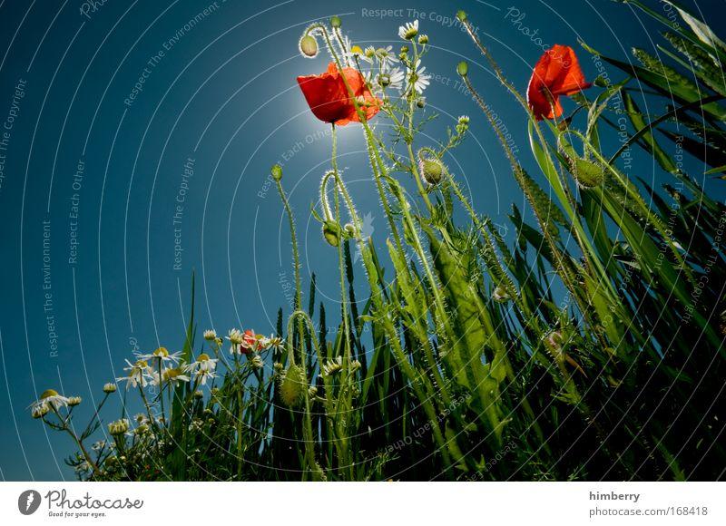 mohnlight party Natur Himmel Sonne Pflanze Sommer ruhig Erholung Wiese Blüte Frühling Landschaft Mohn Zufriedenheit Feld Umwelt Lifestyle