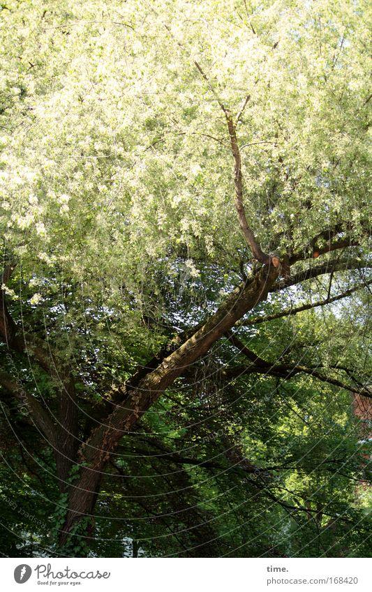Schwanter Dorfschönheit Baum Ast Blatt Baumkrone Holz Pflanze Unterholz Licht Sonne Lebensraum Horst Blüte Frühling Blühend Domizil