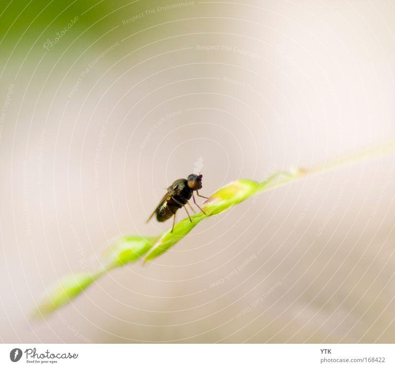 Faule Fliege Natur grün Pflanze Sommer Tier Gras Zufriedenheit braun klein Fliege fliegen Pause Sträucher Flügel dünn wild