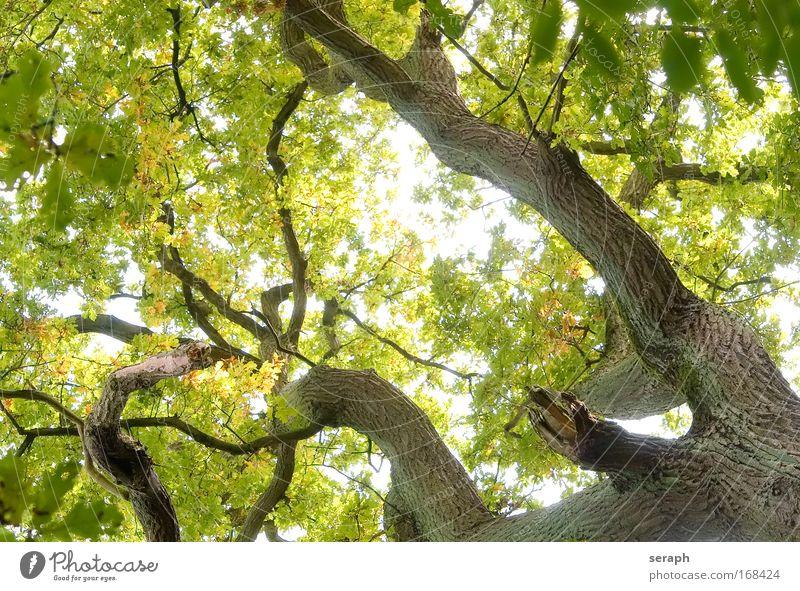 Günes Netzwerk Baum Blatt trunk crown of tree Wald crust branch Ast Geäst green lung age bark dendritic old giant oak Atmosphäre Labyrinth strength