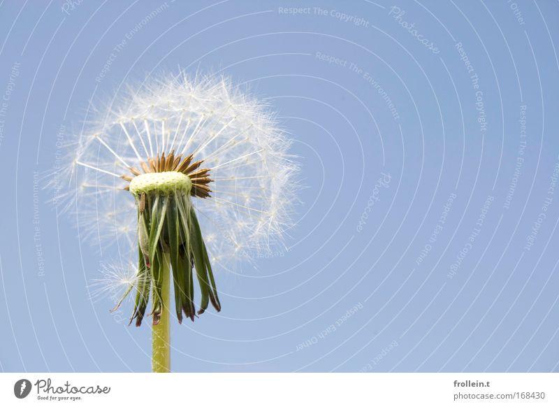 Pusteblume Natur Blume Pflanze Blüte Umwelt Blühend Löwenzahn
