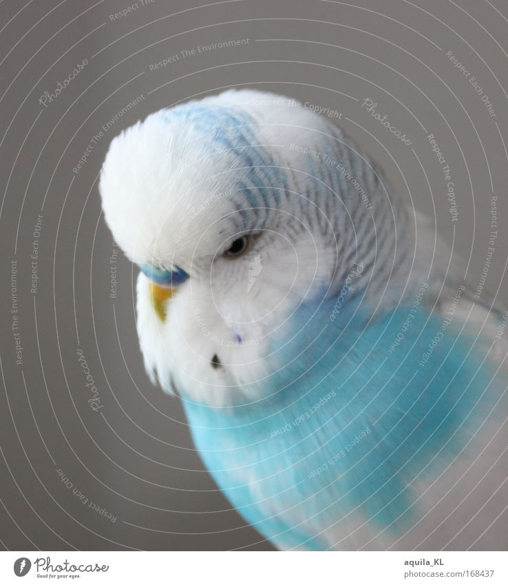 mein Dodo blau weiß schön Tier Vogel niedlich Tiergesicht Haustier Papageienvogel Freisteller Wellensittich Sittich weiß-blau Vogelauge Vor hellem Hintergrund