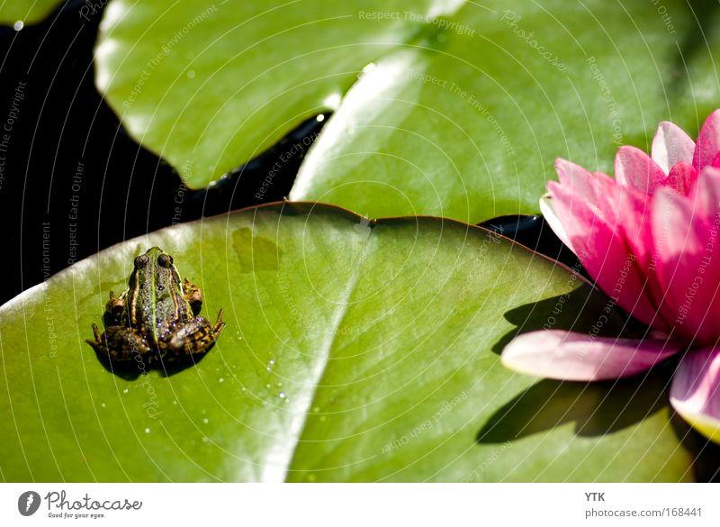 Teichidylle Natur Pflanze grün Sommer Wasser Erholung Tier Umwelt Wärme Blüte See rosa glänzend wild Wetter Idylle