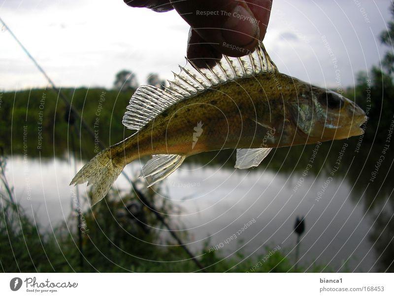 Barsch Natur glänzend nass Geschwindigkeit Fisch tauchen fangen Jagd Begeisterung Ausdauer geduldig schleimig