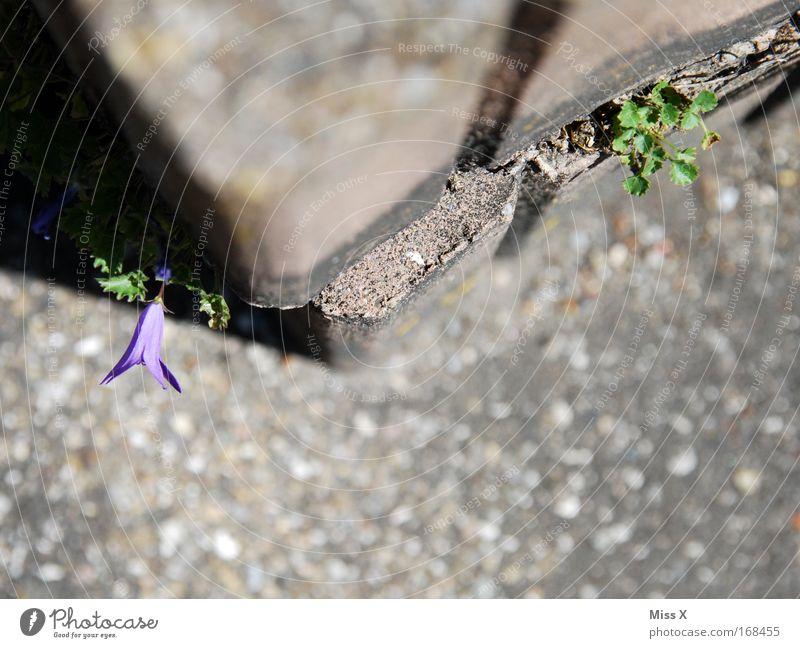 Mauerblümsche Farbfoto Außenaufnahme Menschenleer Schwache Tiefenschärfe Vogelperspektive Natur Pflanze Blüte Felsen dehydrieren Wachstum trist anstrengen