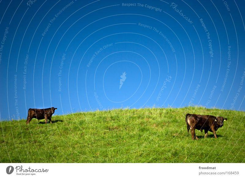 alpekühe Natur grün blau Sommer Einsamkeit Tier Wiese Gras träumen Landschaft braun Kraft Umwelt ästhetisch stehen Klima