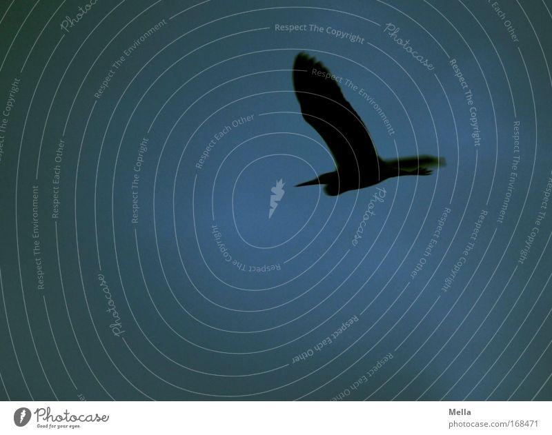 Dunkel war's Natur Tier Luft Himmel Wildtier Vogel Reiher Graureiher 1 fliegen dunkel Freiheit Flug Flugtier Flügel Farbfoto Gedeckte Farben Außenaufnahme