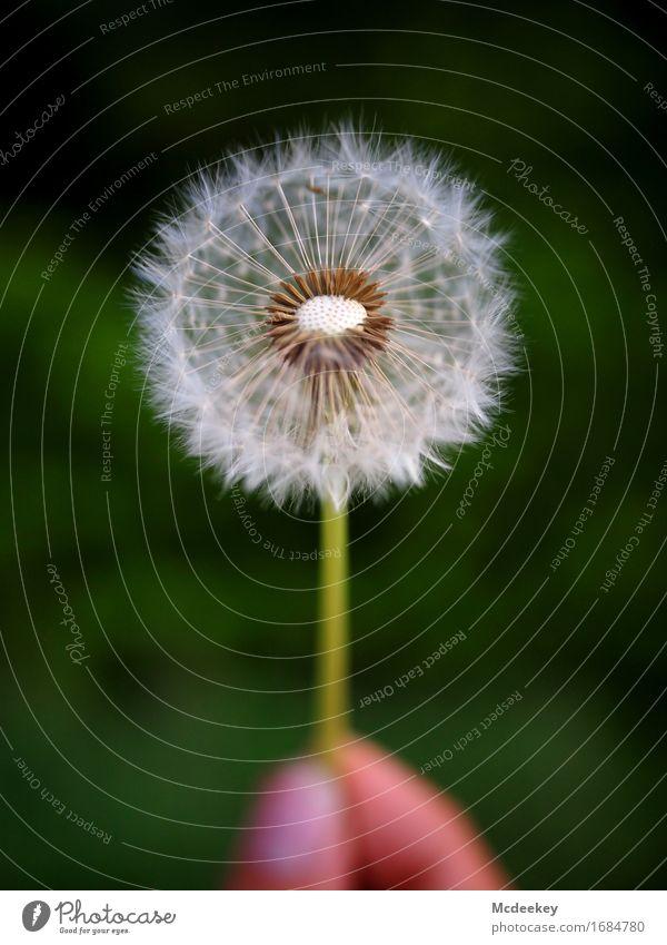 Sommerträume II Natur Pflanze Schönes Wetter Blume Gras Blatt Blüte Grünpflanze Nutzpflanze Wildpflanze Löwenzahn Feld Blühend ästhetisch fantastisch