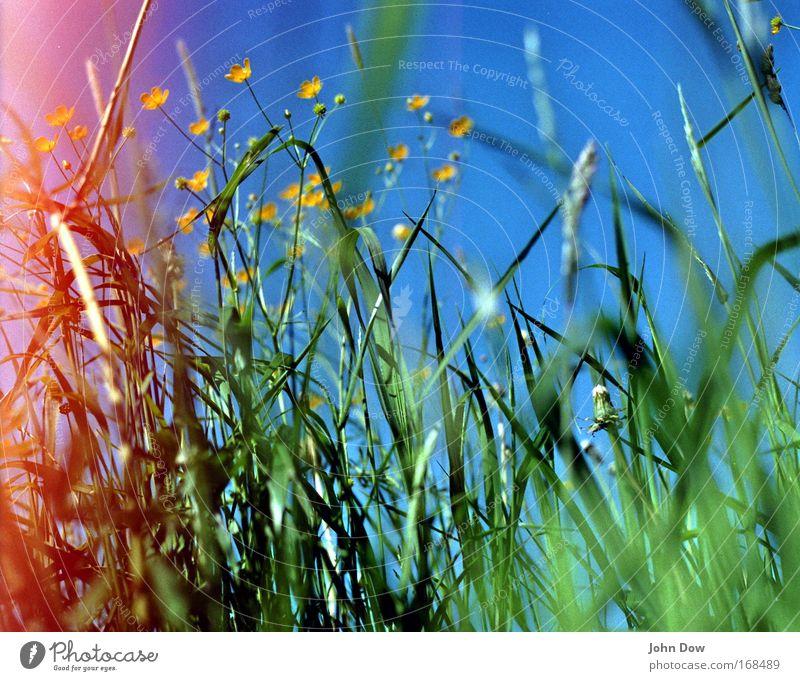 Sei kein Hahnenfuß! Himmel Natur blau grün Pflanze Sommer Blume gelb Wiese Wärme Gras Frühling frisch Wachstum Idylle Schönes Wetter