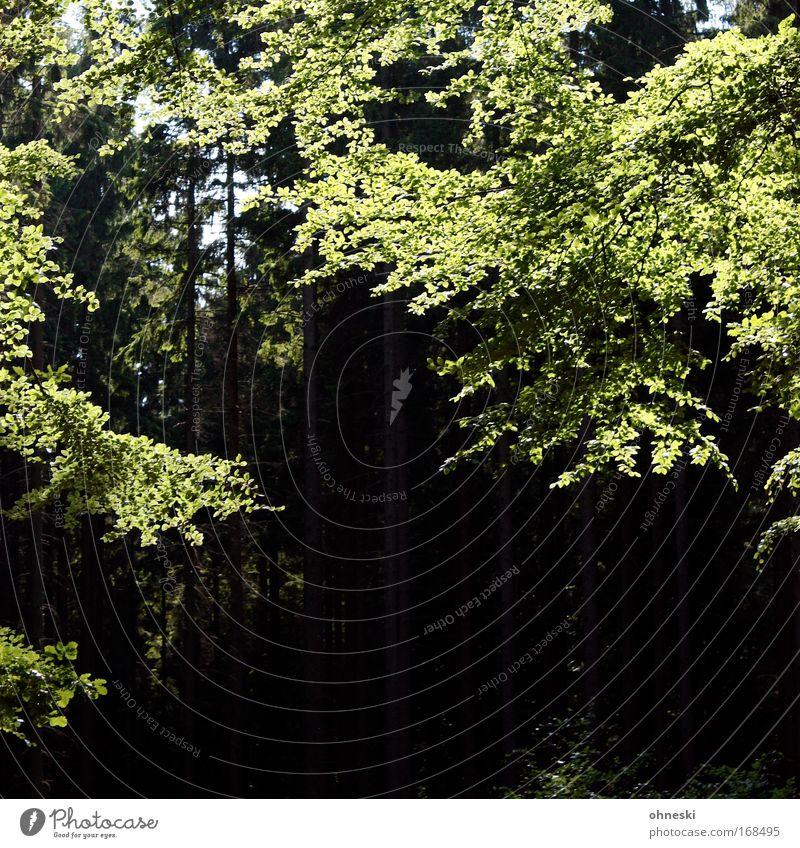 Sonnenwald Farbfoto Textfreiraum unten Kontrast Lichterscheinung Sonnenlicht Umwelt Natur Pflanze Schönes Wetter Baum Wald glänzend Lächeln leuchten Wachstum