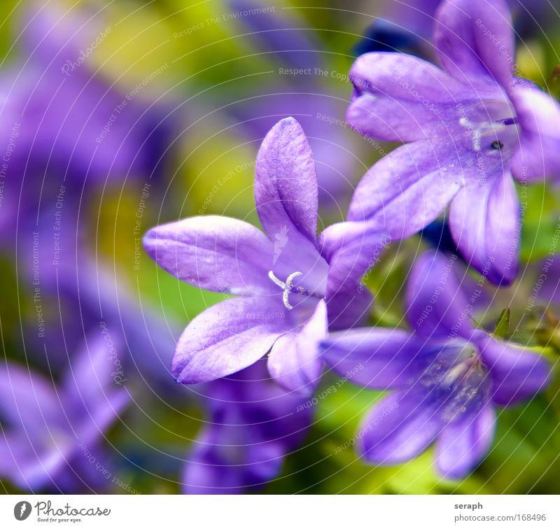 Violett klein frisch Wachstum Lebewesen niedlich Botanik Gartenarbeit Stempel Staubfäden Blumenhändler Blütenstempel geblümt Naturwuchs Kräuterwiese