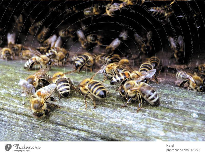 viele Honigbienen an einem Bienenstock Farbfoto Gedeckte Farben Außenaufnahme Nahaufnahme Menschenleer Textfreiraum unten Tag Schatten Zentralperspektive Natur