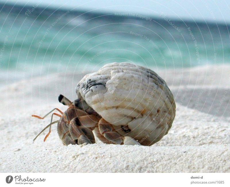 Krebs Meer Strand Sommer Tier Malediven Krebstier Sand Sonne
