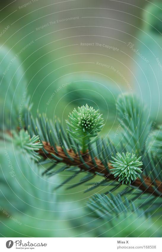Fichtenschiss Farbfoto Außenaufnahme Detailaufnahme Schwache Tiefenschärfe Umwelt Natur Pflanze Frühling Baum Wachstum frisch grün Umweltschutz Waldsterben