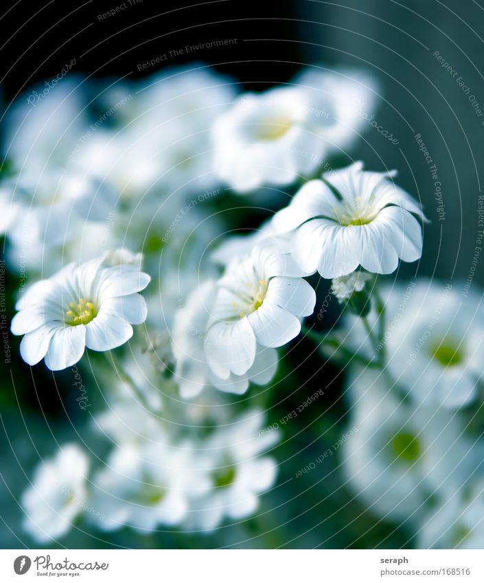 Weisse Blümchen Blüte Wachstum Dekoration & Verzierung Blühend Lebewesen niedlich Botanik Blütenknospen Pollen Gartenarbeit Stempel Blütenblatt Staubfäden