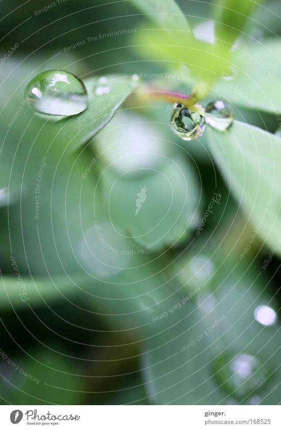 Kleine Kostbarkeiten Natur Wasser grün Pflanze Blatt Frühling Regen glänzend Sträucher Wassertropfen Tropfen durchsichtig Grünpflanze